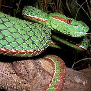 green viper eastern Himalayas