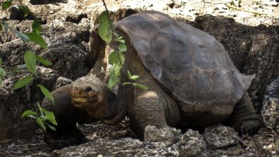 "A giant tortoise named ""Lonesome George"" is seen in the Galapagos islands, an archipelago off Ecuador's Pacific coast. The remote islands draw an estimated 100,000 visitors a year eager for a glimpse of the unique creatures and flora that Darwin called ""a little world within itself."" (AP Photo/Galapagos National Park, File)"