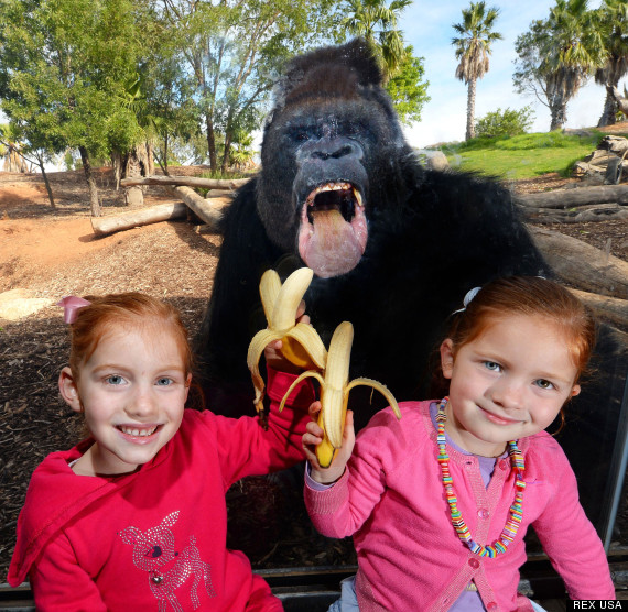 Gorillas at Werribee Open Range Zoo, Melbourne, Australia - 03 Apr 2013