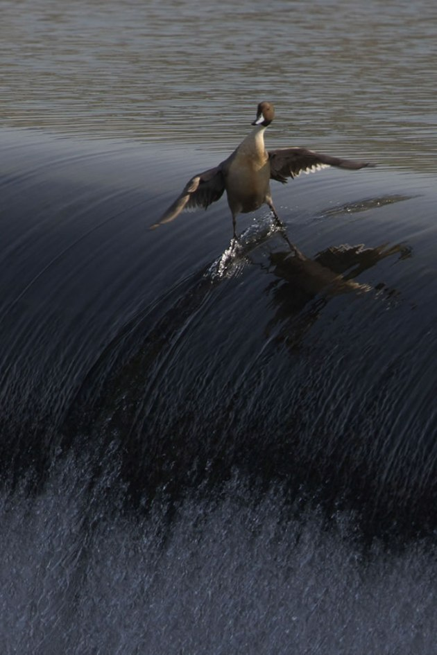 COOLEST.-DUCK.-EVER.