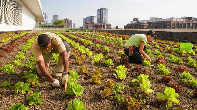 Harvesting lettuce at the Chicago Botanic Garden's 20,000-square-foot vegetable garden atop McCormick Place West, courtesy CBG