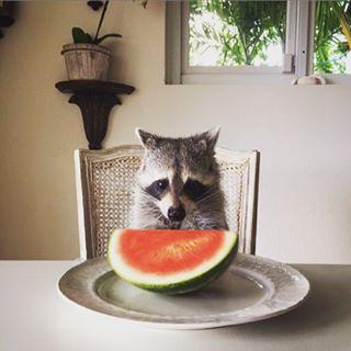 rescued-raccoon-pumpkin-laura-young-20