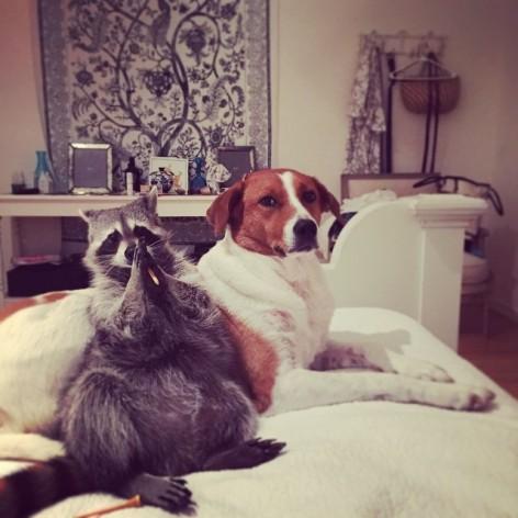 rescued-raccoon-pumpkin-laura-young-24
