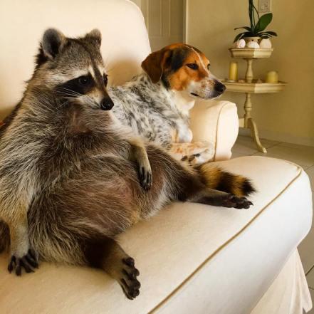 rescued-raccoon-pumpkin-laura-young-4
