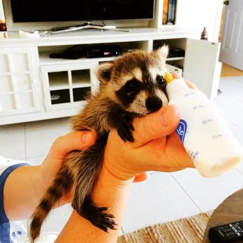 rescued-raccoon-pumpkin-laura-young-45